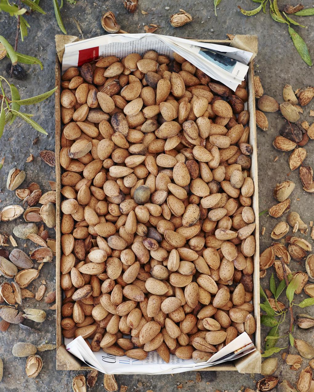 almond harvest-CF052873