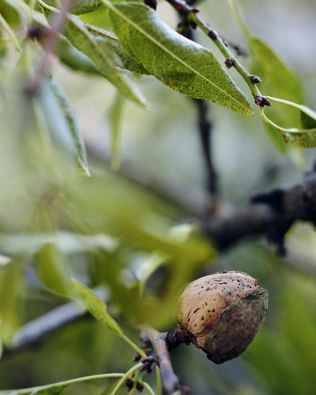 almond tree CF052774