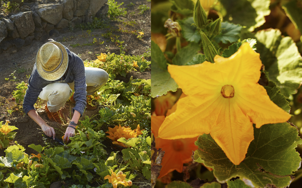 1zucchiniflowers