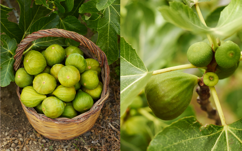 Gorgonzola filled figs - Under the Almond Tree